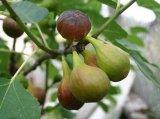 Фиговое дерево (инжир)