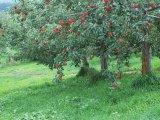 Яблони в горах